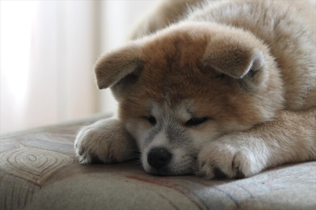 秋田犬 病気