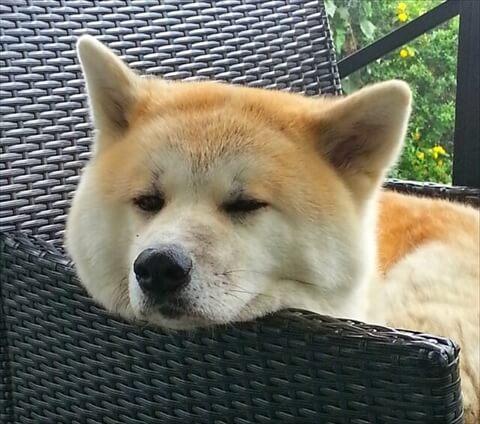 秋田犬 ドッグフード