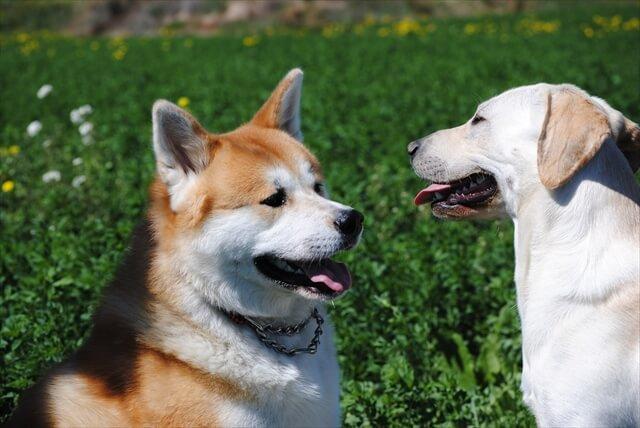 秋田犬 画像
