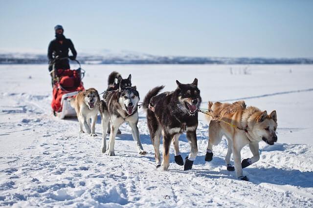 アラスカンマラミュート 散歩