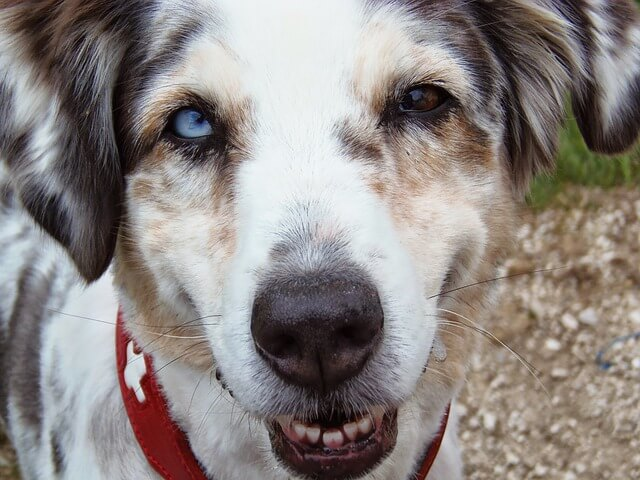 犬 白内障