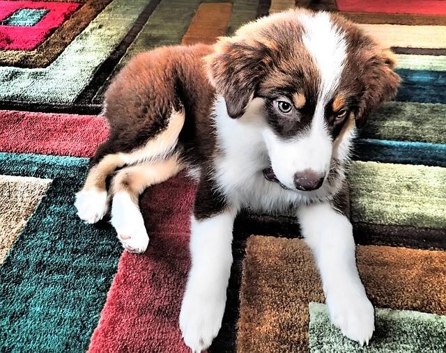 オーストラリアンシェパード 仔犬