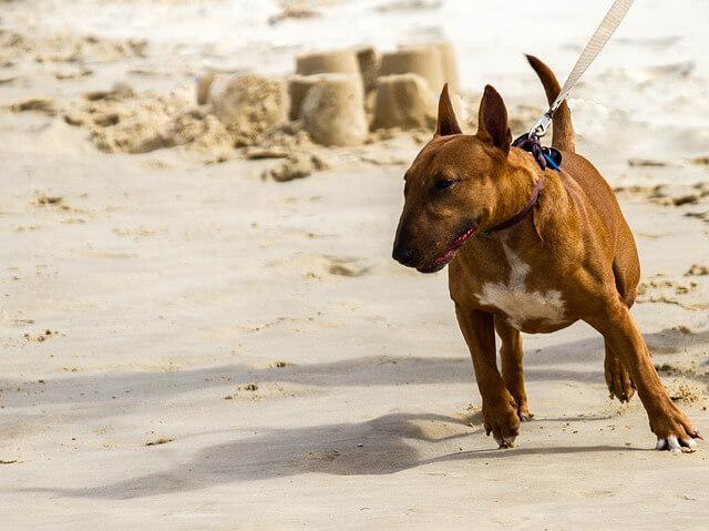 ブルテリア 仔犬
