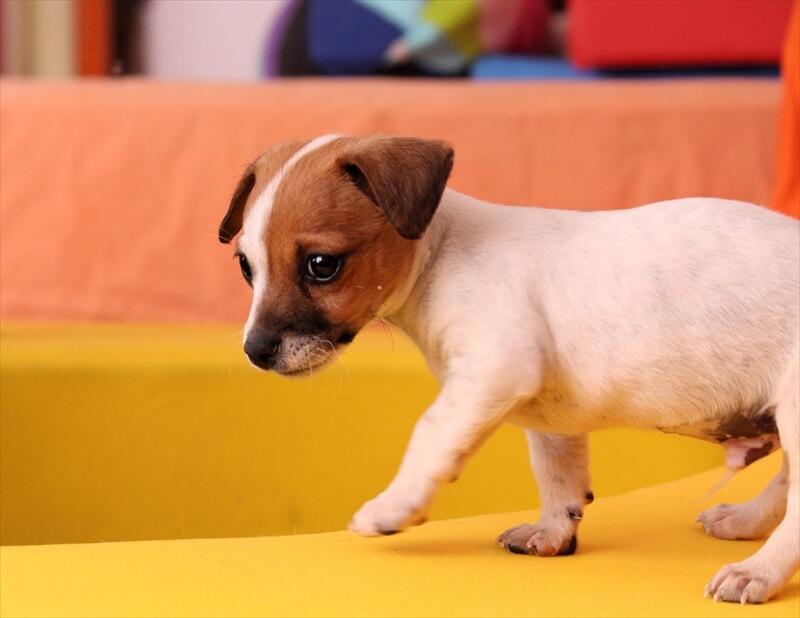 ジャックラッセルテリア子犬