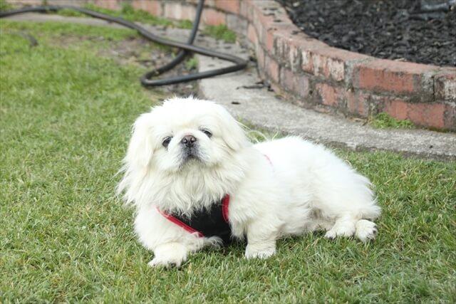 ペギニーズ 子犬