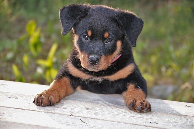 ロットワイラー 仔犬