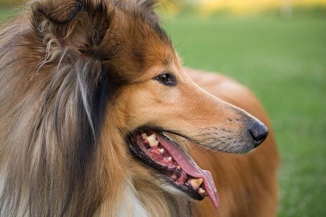ラフコリー どんな犬