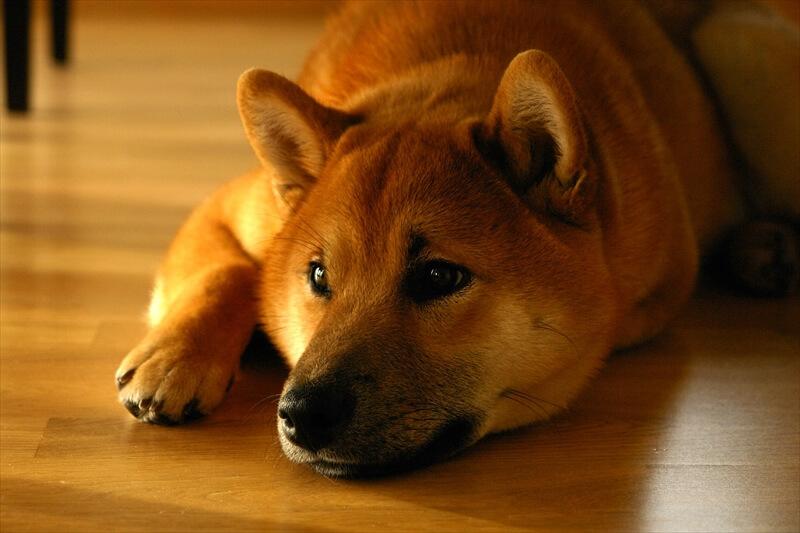 柴犬かわいい