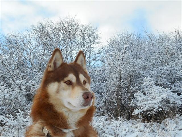 シベリアンハスキー画像